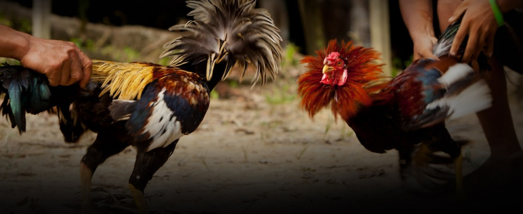 Fighting cock training methods the