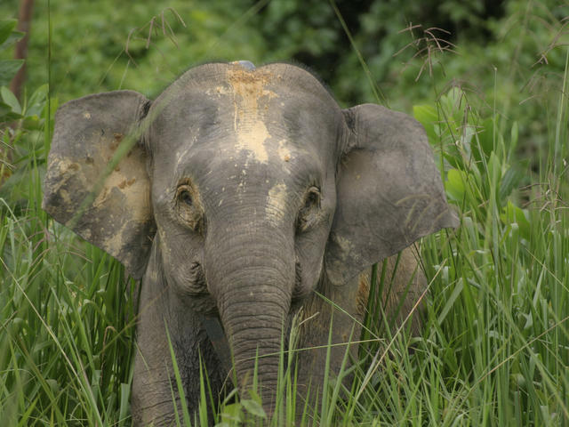 My name is Joe! Nice to meet you all!  Pygmy Elephant living in Sabah