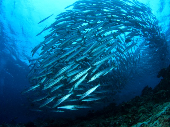 School of barracuda in tornado-like formation